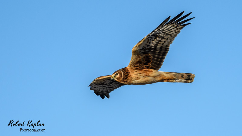Northern Harrier -7876.jpg