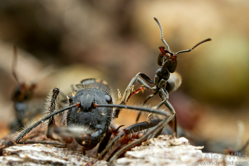 Anonychomyrma workers aggressively defend the carcass of a carpenter ant they have found from would-be usurpers.  Harrietville, Victoria, Australia