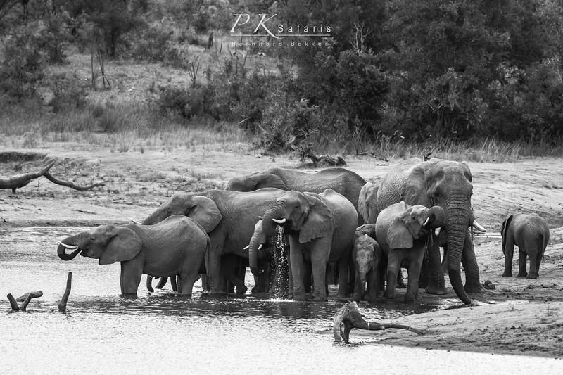 Elephant herd drinking (1 of 1).jpg