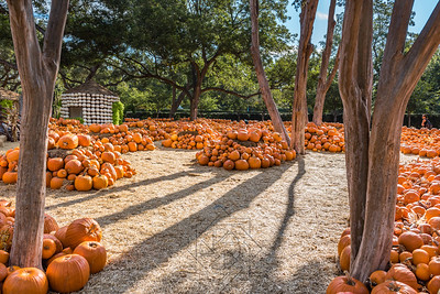 Very large pumpkin patch with mounds of pumpkins