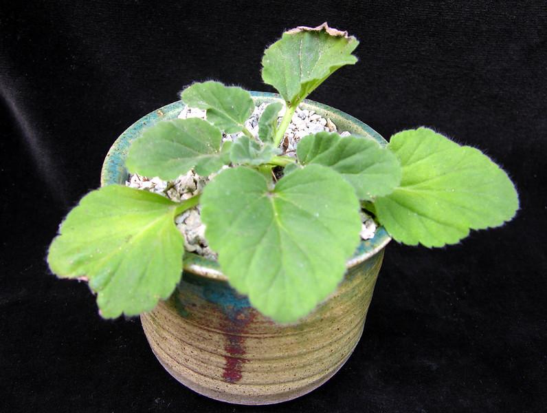 Pelargonium curviandrum