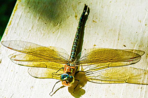 Dragon Fly Pics - 5-19-19
