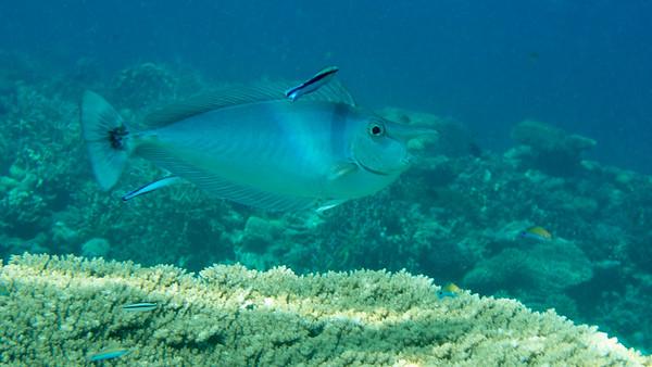 Spotted Unicornfish, Naso brevirostris