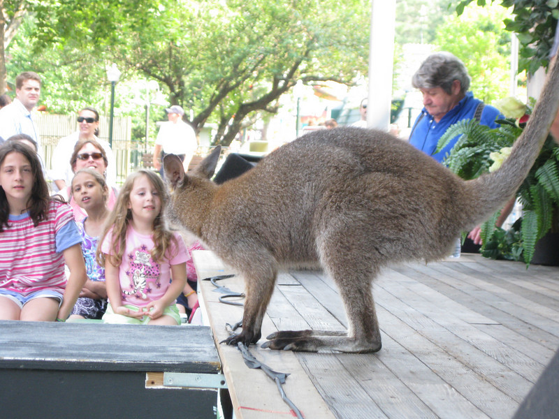A wallaby (kangaroo).