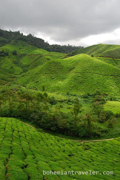 Cameron Highlands Malaysia Tea fields [Boh] (9).jpg