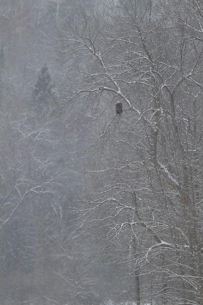 Bald Eagle Fond du Lac Bridge Duluth MN IMG_0072415.jpg