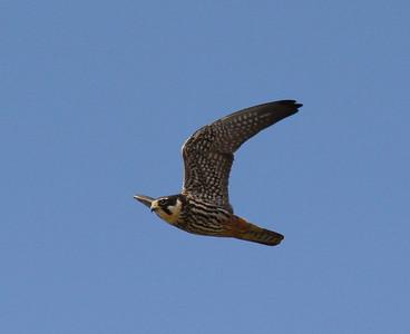 Nuolihaukka (Falco subbuteo)