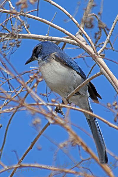 Scrub Jay ~ This common jay of the west was photographed in San Timoteo Canyon, near Redlands, CA.