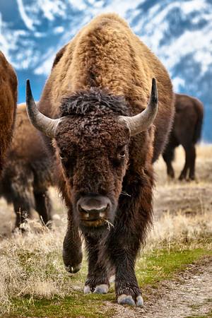 Bison - Buffalo