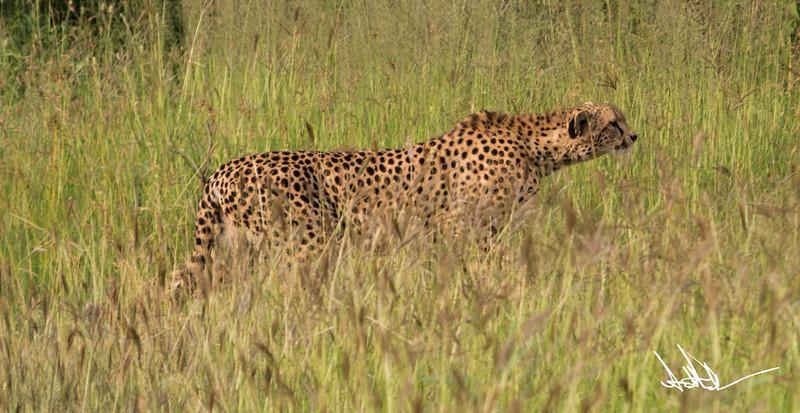 CheetahS-3.jpg