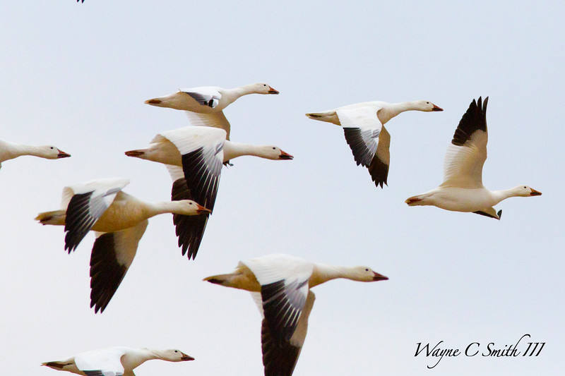 Snowgeese Migrating in Flight