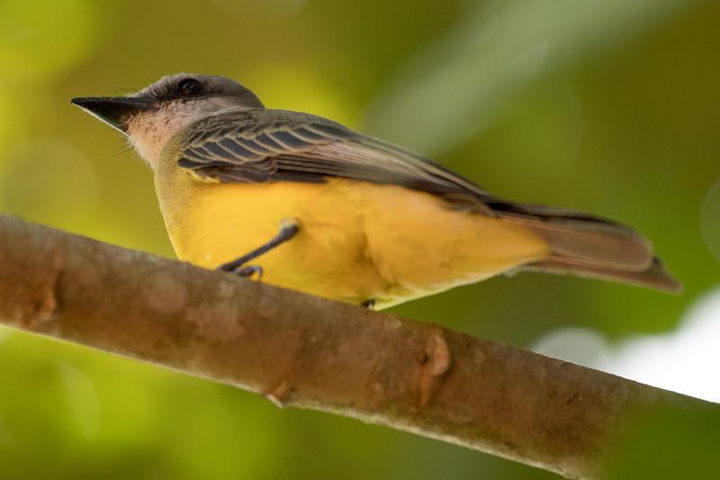 19-Sept Costa Rica Birds-1623.JPG