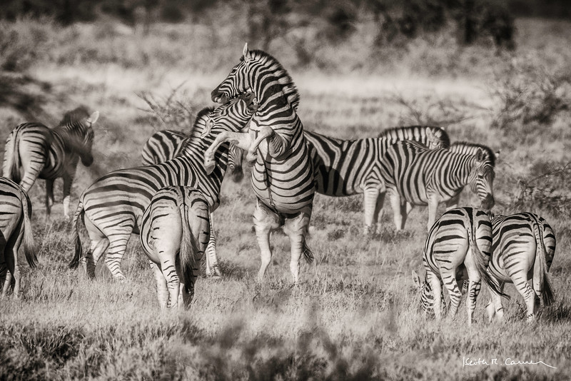 Two young zebra bucks fight for attention of female