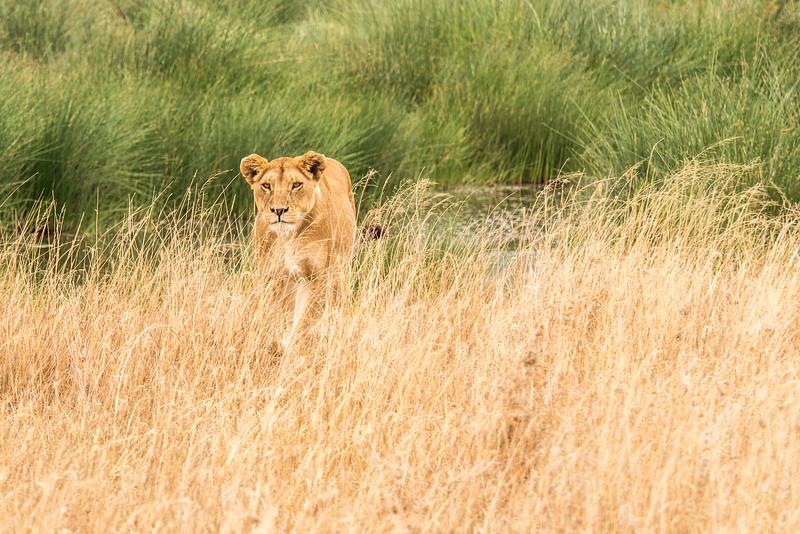 Tanzania-Lioness-prowling.jpg