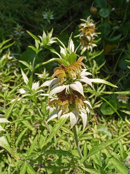 Monarda punctata - Spotted Beebalm