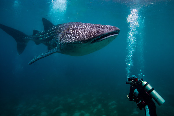 Philippines - Critters- Whale sharks