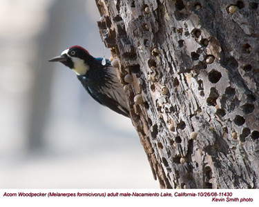 AcornWoodpeckerM11430.jpg