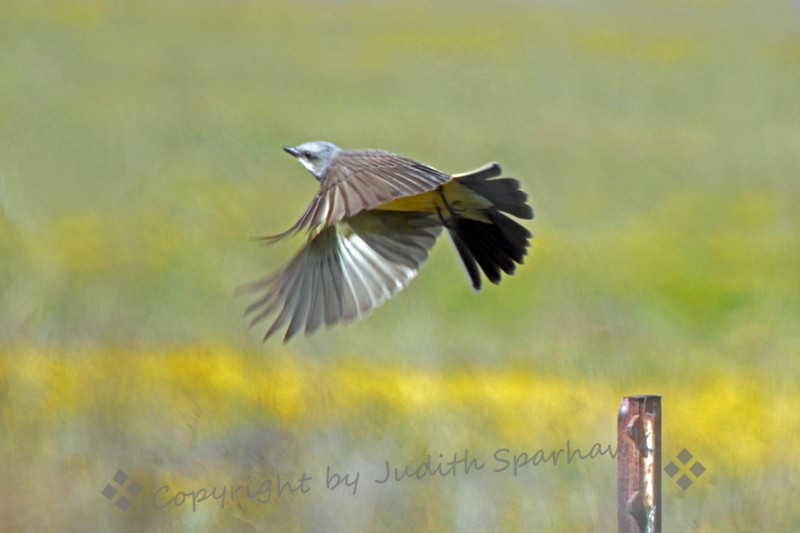 Kingbrd Take-Off ~ This Western Kingbird took off from his fencepost perch at San Jacinto Wildlife Area.