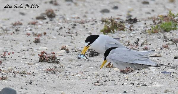 Coast Hwy south Carlsbad, Least Tern nesting site  5/14/2016