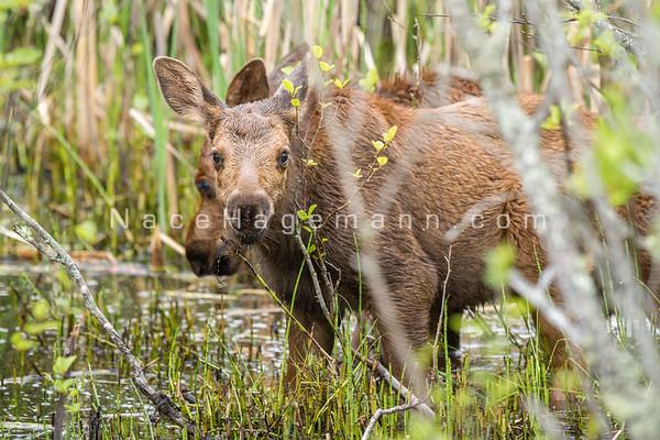 2015 Moose- summer