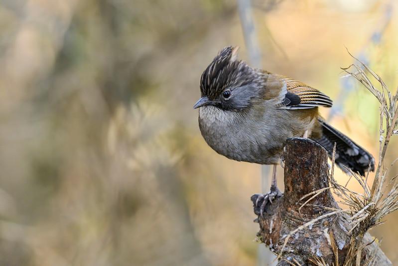 Hoary-throated-barwing-1.jpg