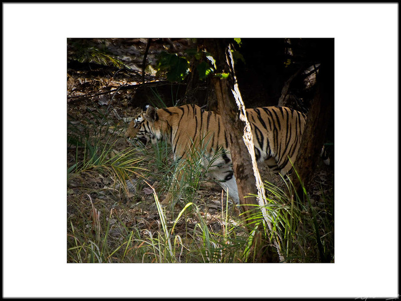 07: Bandhavgarh tiger sighting