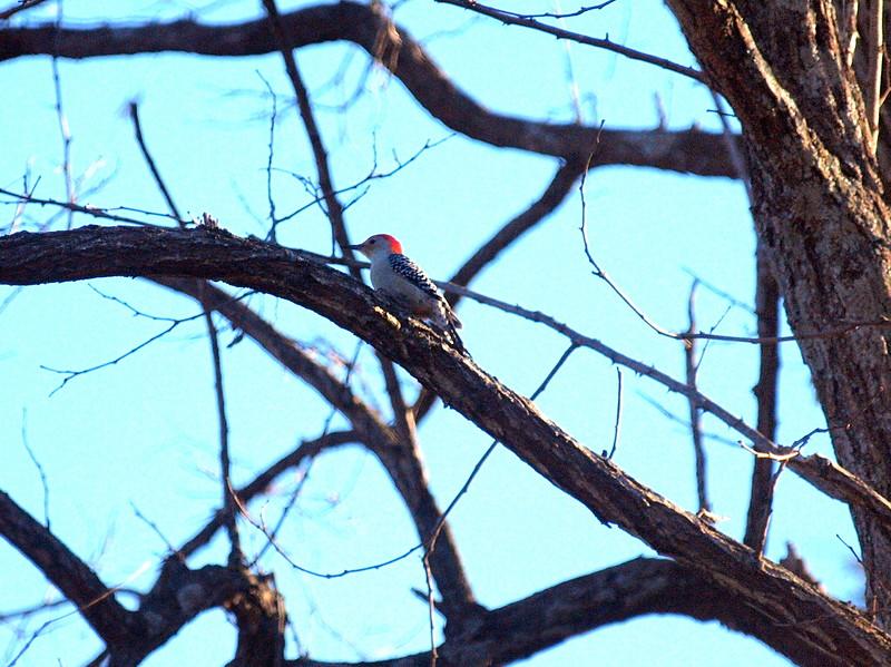 Woodpecker-001.JPG