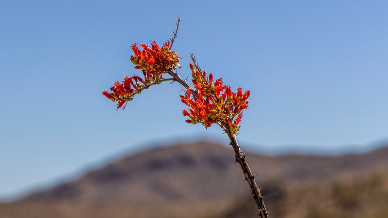 Ocotillo Flowers