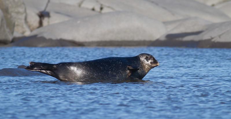 Harbor Seal Cape Merry Hudson Bay Churchill Manitoba Canada IMG_0627.jpg