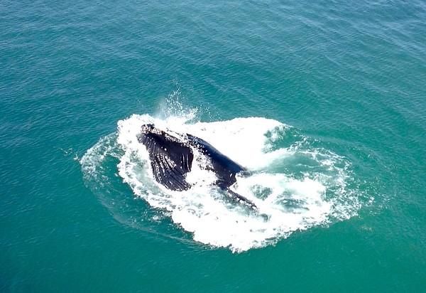 Whales.SanSimeon,CA.summer2015