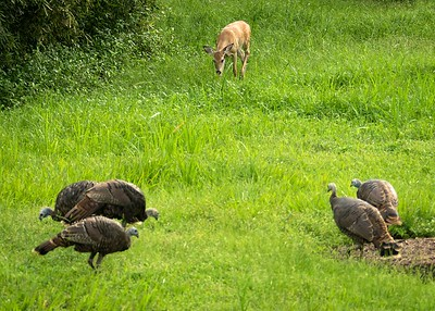 Spotted Fawn & Turkeys