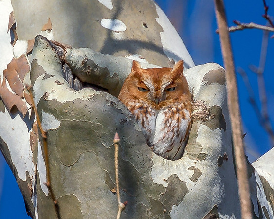 Red-Morph Eastern Screech-Owl