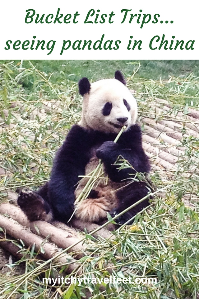 Bucket list trips - seeing pandas in China. A panda sits on the ground eating bamboo shoots in Chengdu, China.