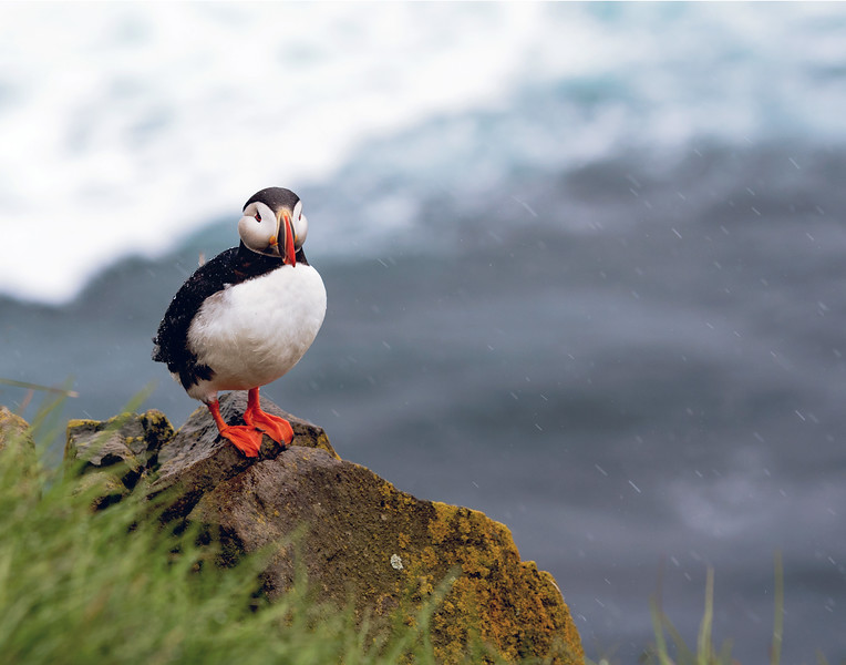 Atlantic Puffin 2