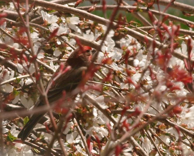 cherry tree bird.jpg