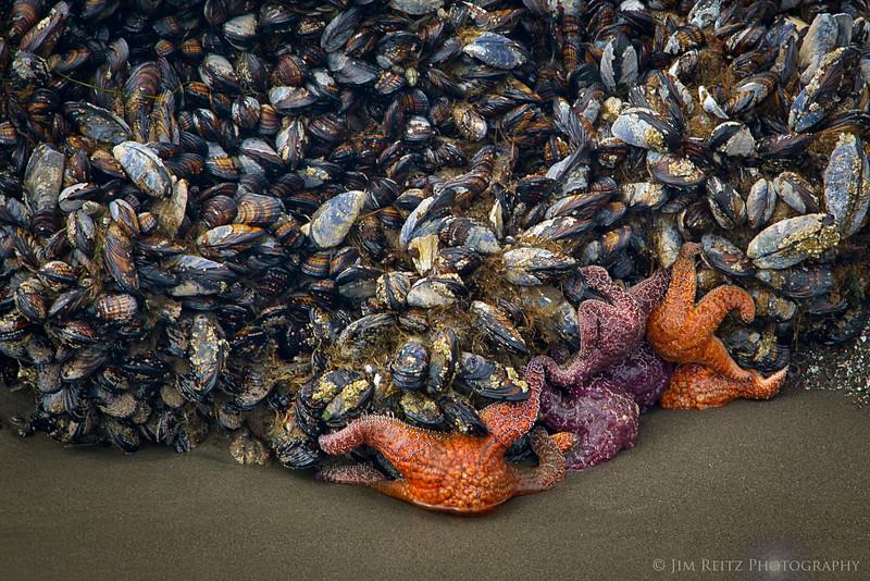 Mussels & sea stars, Second Beach - La Push, WA