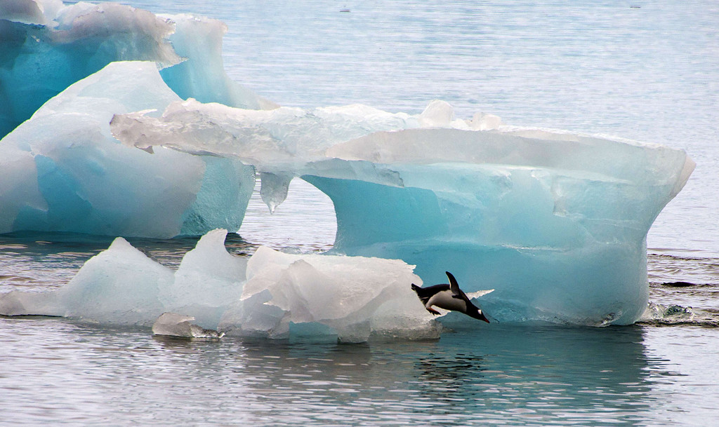. A penguin dives from an ice block in front of Brazil\'s Comandante Ferraz base, in Antarctica on March 10, 2014.    AFP PHOTO /VANDERLEI ALMEIDA /AFP/Getty Images