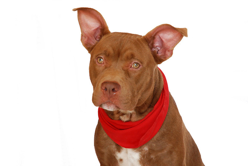 Port - A267633 - 10 month old male, chocolate & white pit bull terrier