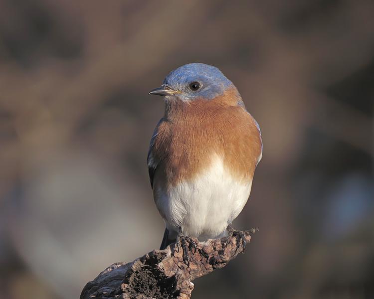 sx50_bluebird_boas_142.jpg