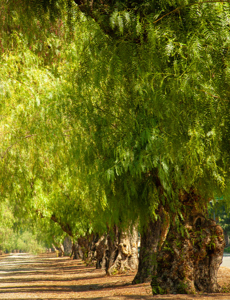 Trees, Uppland, California, 2009