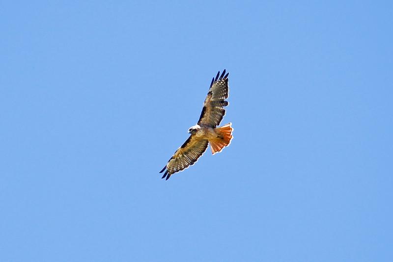 Hawk_082310_050.jpg