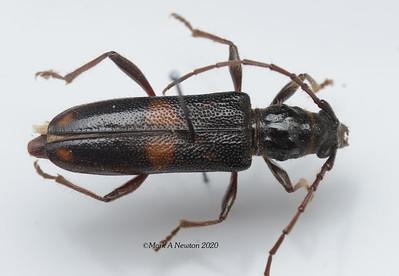 Steata tatei (Cerambycinae)