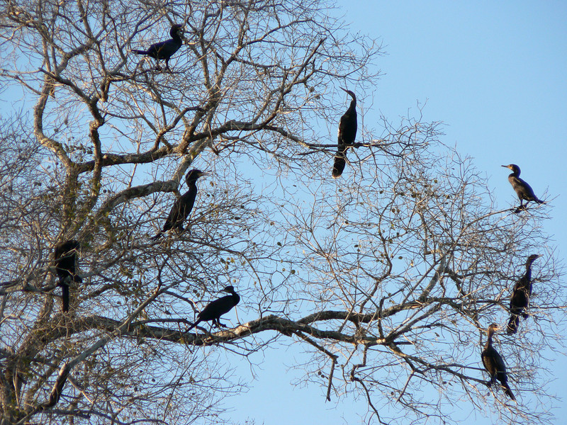 Meanwhile, in the trees. A group of cormorans