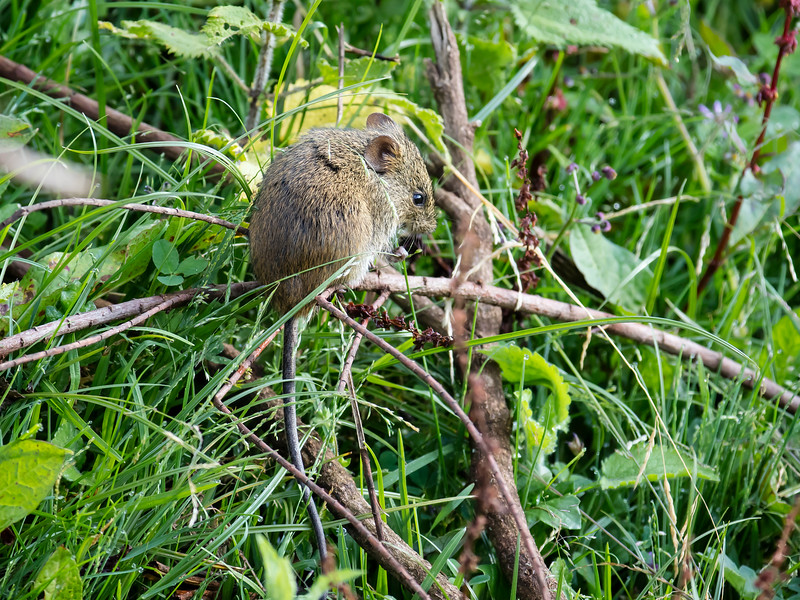 Ethiopian Meadow Rat