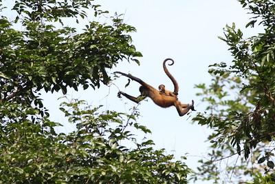 spider monkeyy_07-08-08_0001