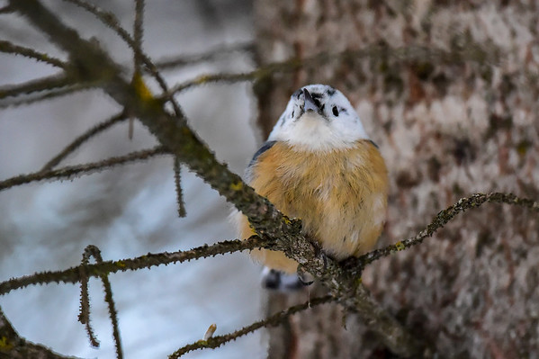 12-23-15 Red-Breasted Nuthatch - White Headed