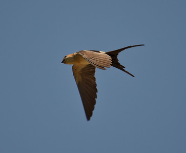 Red- rumped Swallow