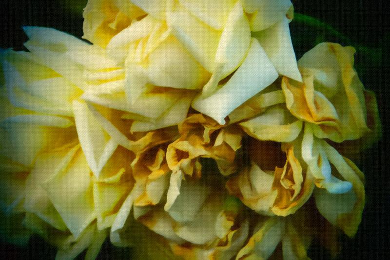 November 8 - Aging yellow rose.jpg