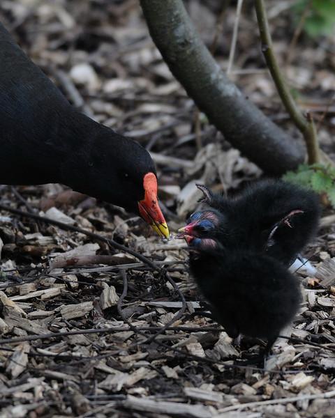 Moorhen with chicks London Wetland Centre, London, England