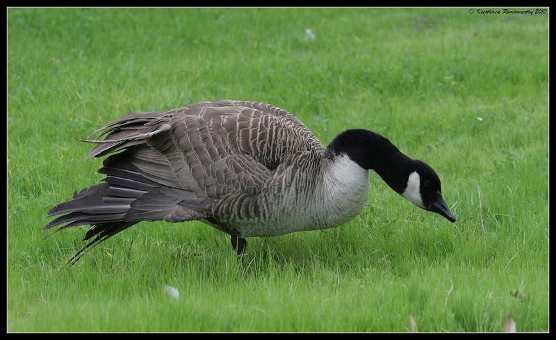 Canada Goose, Lake Murray, San Diego County, California, March 2010